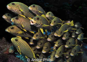 sweetlips by Andre Philip
