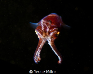 Stubby Squid on Night Dive in Washington. by Jesse Miller