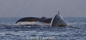 Humpbacvk Whales are back! by Beat J Korner