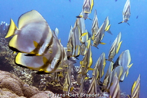 Batfishes Swimming gala and the audience by Hans-Gert Broeder