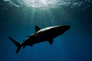 Reef shark in natural light by Paul Colley