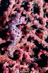 Red Pigmy Seahorse by Carl Lam