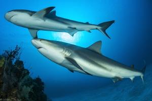 2 Carcharhinus perezi by Mathieu Foulquié