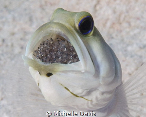 Yellow Headed Jaw Fish incubating eggs in its mouth...Nik... by Michelle Davis