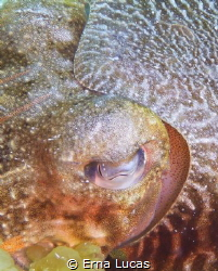 Cuttlefish really close up, gracious, elegant, everchanging by Erna Lucas
