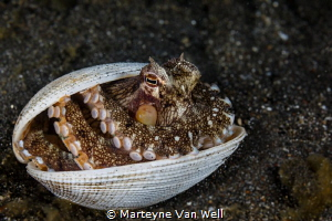 Coconut Octopus showing its tricks during a night dive at... by Marteyne Van Well