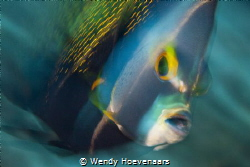 This French Angel fish was swimming around me a couple of... by Wendy Hoevenaars