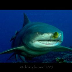 Moorea, French Polynesia. Lemon Shark and fast pilot. by Christopher Ward