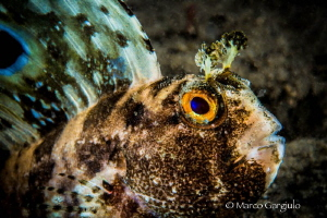 Blennius ocellaris, Night dive, Micro Nikkor 60mm & Subse... by Marco Gargiulo