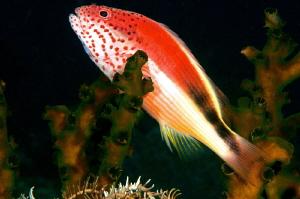 An hawkfish on the coral. by Mehmet Salih Bilal