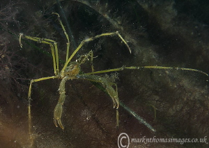 Long-legged spider crab.