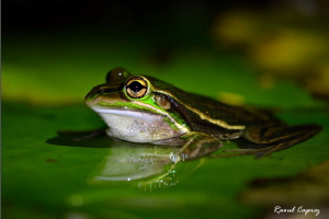 Frog at night by Raoul Caprez