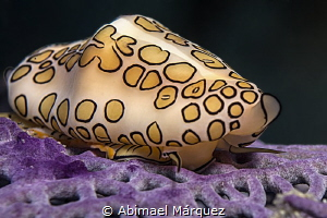 The eye of a Flamingo Tongue by Abimael Márquez