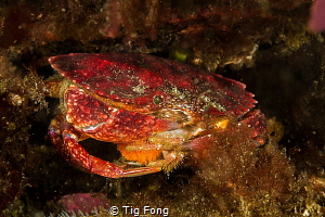 Red Rock Crab with eggs at Tyee Cove by Tig Fong