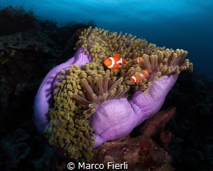 Magnificent Anemone with False Clown Fish by Marco Fierli