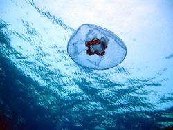 jellyfish, red sea by Gordana Zdjelar
