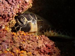 """A noon time snooze at """"The Trench"""" ~60' down along a sea ... by Glenn Poulain"""