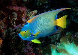 queen angelfish by Maryke Kolenousky