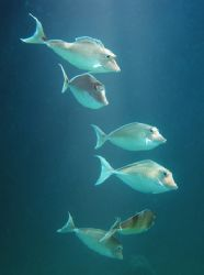 Unicorn Tangs. South Male atoll - Maldives. Nikon D70 28m... by Grant Kennedy