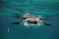 Manta ray outside Port Sudan, Sudan. Taken during some sn... by Rikard Andersson