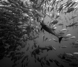 dolphins feeding on bigeye jacks atdirty rock, cocos island by Ofer Ketter