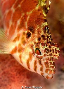 hawkfish by Oscar Miralpeix