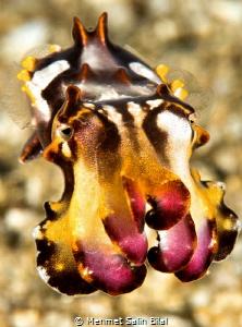 Flamboyant Cuttlefish. by Mehmet Salih Bilal
