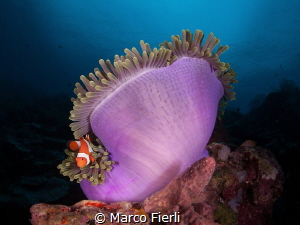Magnificent Anemone and Clown fish 2 by Marco Fierli