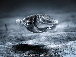 Neutral buoyancy Cuttlefish just disapproves ... Reef Cut... by Stefan Follows