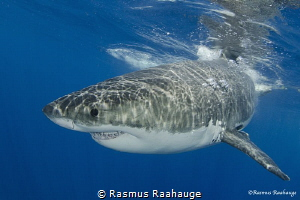Great white shark by Rasmus Raahauge