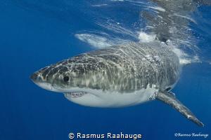 Great white shark by Rasmus Raahauge