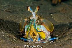 Color from the sand. This Mantis Shrimp checks out its su... by Douglas Klug