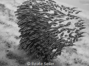 Catfish b/w by Beate Seiler