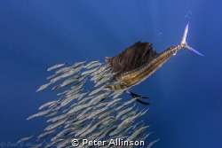 Sailfish hunting sardines about 50 miles off the coast of... by Peter Allinson