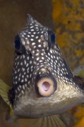 Cozumel Trunkfish by Karl Dietz