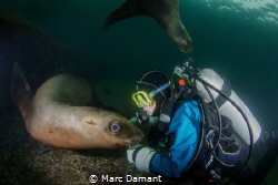 A little scratch! These sea lions liked to rub up against... by Marc Damant