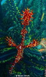 Ghost pipefish by Steven Withofs