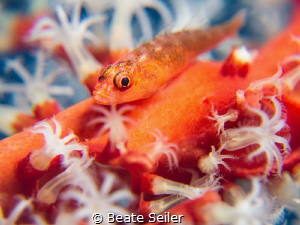 small goby on softcoral by Beate Seiler