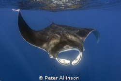 Manta swimming off the coast of Isal Mujeres by Peter Allinson