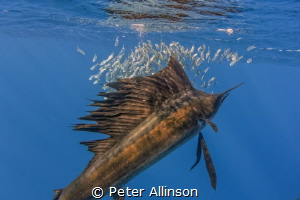 Sailfish closeup by Peter Allinson