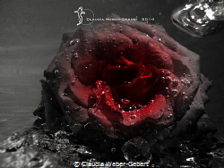 abstract underwater - red rose with air bubbles by Claudia Weber-Gebert