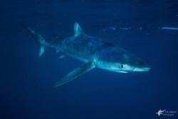 Blue Shark by Eric Addicott