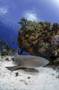 Nurse Shark, Cozumel by Cyril Buchet