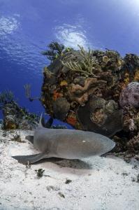 Nurse Shark, Cozumel by Cyril Buchet