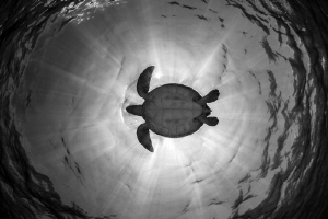 Green turtle by Cyril Buchet