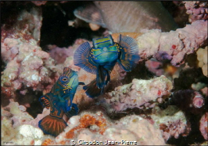 Mandarin fishes in full action 105mm nikon D300 by Giroudon Jean-Pierre
