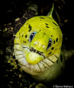 Fimbriated moray staring match by Elaine Wallace