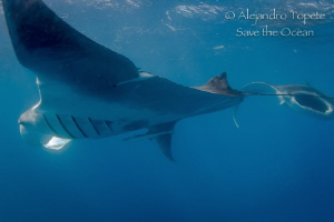 Two Manta Rays in a row, Isla Contoy Mexico by Alejandro Topete