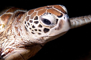 An Hawksbill Turtle in Sipadan.  Nikon D300S and  Nikkor ... by Mehmet Salih Bilal