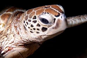 An Hawksbill Turtle in Sipadan.  Nikon D300S and  Nikkor ... by Mehmet Salih Bilal